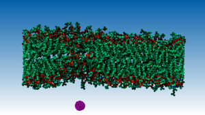 A c60 molecule traversing a double lypidic membrane